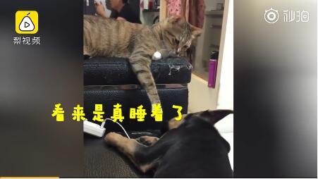 最强心机猫!趁狗子睡着打它一嘴巴:叫你平时欺负我